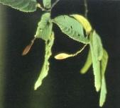 6楓之琳園藝小苗種子圖檔很多稀有植物:01300000013093118960798169578_s.jpg