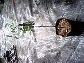 6楓之琳園藝小苗種子圖檔很多稀有植物:IMG_20131004_114312.jpg