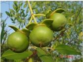 6楓之琳園藝小苗種子圖檔很多稀有植物:T2Py7IXhlaXXXXXXXX_!!282121818.jpg