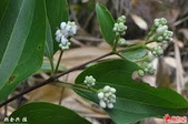6楓之琳園藝小苗種子圖檔很多稀有植物:images (3).jpg