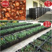 8楓之琳園藝小苗種子圖檔很多稀有植物:T2DTavXaNbXXXXXXXX_!!139083869.jpg