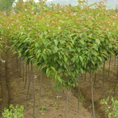 14楓之琳園藝小苗種子圖檔很多稀有植物:T2yIznXaNXXXXXXXXX_!!749863936.jpg_310x310.jpg