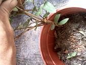 6楓之琳園藝小苗種子圖檔很多稀有植物:IMG_20131004_113922.jpg