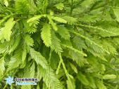 4楓之琳園藝小苗種子圖檔很多稀有植物:MoDys26ZNAVoijcl7ZfeBg.jpg