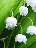 6楓之琳園藝小苗種子圖檔很多稀有植物:116967.jpg