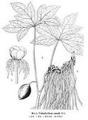 6楓之琳園藝小苗種子圖檔很多稀有植物:images (1).jpg