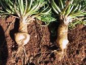 6楓之琳園藝小苗種子圖檔很多稀有植物:玛卡提取物.jpg