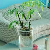 10楓之琳園藝小苗種子圖檔很多稀有植物:T1CP82Xm8rXXX0yY_a_090339.jpg_310x310.jpg