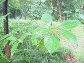 6楓之琳園藝小苗種子圖檔很多稀有植物:houzhangguo_2.jpg
