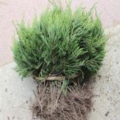 4楓之琳園藝小苗種子圖檔很多稀有植物:GyedWIkNFPAL01p2dHOgEA.jpg