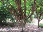 14楓之琳園藝小苗種子圖檔很多稀有植物:T2PSpSXiRcXXXXXXXX_!!62484173.jpg