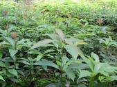 1楓之琳園藝小苗種子圖檔很多稀有植物:2012110517294845231.jpg