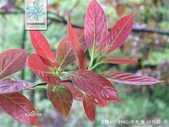 10楓之琳園藝小苗種子圖檔很多稀有植物:b21bb051f8198618e5c2e9b34bed2e738ad4b31c8701c63c.jpg