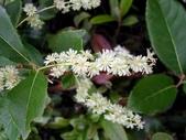 6楓之琳園藝小苗種子圖檔很多稀有植物:homalium_cochinchinensis1.jpg