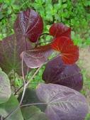 11楓之琳園藝小苗種子圖檔很多稀有植物:加拿大紫叶紫荆.jpg