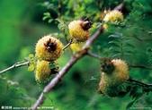 6楓之琳園藝小苗種子圖檔很多稀有植物:下載.jpg