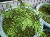 1楓之琳園藝小苗種子圖檔很多稀有植物:amento-2.jpg