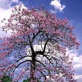 3楓之琳園藝小苗種子圖檔很多稀有植物:crop_0.06307300 1377856121.jpg