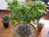 6楓之琳園藝小苗種子圖檔很多稀有植物:01300000560404125795156175038.jpg
