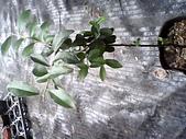 6楓之琳園藝小苗種子圖檔很多稀有植物:IMG_20131004_114305.jpg