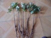 12楓之琳園藝小苗種子圖檔很多稀有植物:T1Xf_KXXtnXXcYc2_X_084921.jpg_310x310.jpg