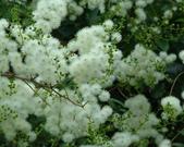 9楓之琳園藝小苗種子圖檔很多稀有植物:T1qkXrXdNlXXcKmec9_073151.jpg_310x310.jpg