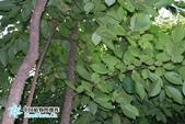 6楓之琳園藝小苗種子圖檔很多稀有植物:128721735578750000a.jpg