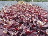 14楓之琳園藝小苗種子圖檔很多稀有植物:2008121641093917.jpg