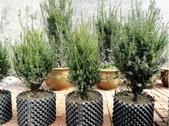 1楓之琳園藝小苗種子圖檔很多稀有植物:images (7).jpg