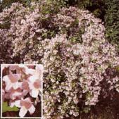 6楓之琳園藝小苗種子圖檔很多稀有植物:猬实.jpg