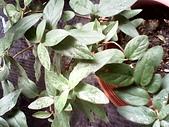 6楓之琳園藝小苗種子圖檔很多稀有植物:IMG_20131004_113917.jpg