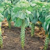 6楓之琳園藝小苗種子圖檔很多稀有植物:Brussel Sprout Plant.jpg