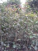 9楓之琳園藝小苗種子圖檔很多稀有植物:T2jpCjXadcXXXXXXXX_!!803604110.jpg