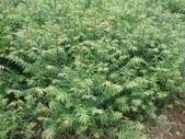 2楓之琳園藝小苗種子圖檔很多稀有植物:Fo5KUQCxCJsbLg_kjFN8yw.jpg