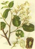 5楓之琳園藝小苗種子圖檔很多稀有植物:pw1Q_LO_Rp84NOcNy269_w.jpg