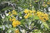 11楓之琳園藝小苗種子圖檔很多稀有植物:印度紫檀-花16.jpg