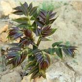 4楓之琳園藝小苗種子圖檔很多稀有植物:T1pY0wFgxhXXXXXXXX_!!0-item_pic.jpg_210x210.jpg