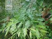 14楓之琳園藝小苗種子圖檔很多稀有植物:1076489.jpg