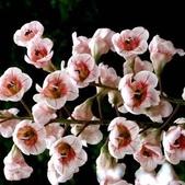 3楓之琳園藝小苗種子圖檔很多稀有植物:crop_0.72382100 1377856159.jpg