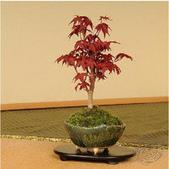 10楓之琳園藝小苗種子圖檔很多稀有植物:T15LYtXdRlXXawSNc4_053148.jpg_210x210.jpg