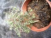 6楓之琳園藝小苗種子圖檔很多稀有植物:IMG_20131004_113625.jpg