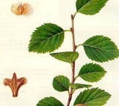 6楓之琳園藝小苗種子圖檔很多稀有植物:下載 (8).jpg