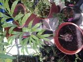 15楓之琳園藝小苗種子圖檔很多稀有植物:20130627_124258.jpg