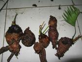 12楓之琳園藝小苗種子圖檔很多稀有植物:IMG_9130.JPG