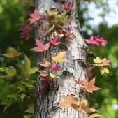 3楓之琳園藝小苗種子圖檔很多稀有植物:crop_0.72118500 1377856178.jpg