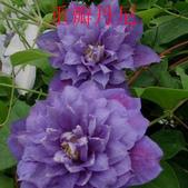6楓之琳園藝小苗種子圖檔很多稀有植物:T2CDVjXXhOXXXXXXXX_!!83427479.jpg