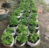 13楓之琳園藝小苗種子圖檔很多稀有植物:T1_uRGXe8hXXb_z_AW_025014.jpg_210x210.jpg