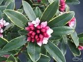 14楓之琳園藝小苗種子圖檔很多稀有植物:20100203_e910ee5bf848961f8838UnHhfajhCA3J.jpg