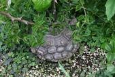 6楓之琳園藝小苗種子圖檔很多稀有植物:龜甲龍-球莖06.jpg