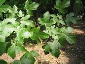 6楓之琳園藝小苗種子圖檔很多稀有植物:U9883P1196DT20130717133949.jpg